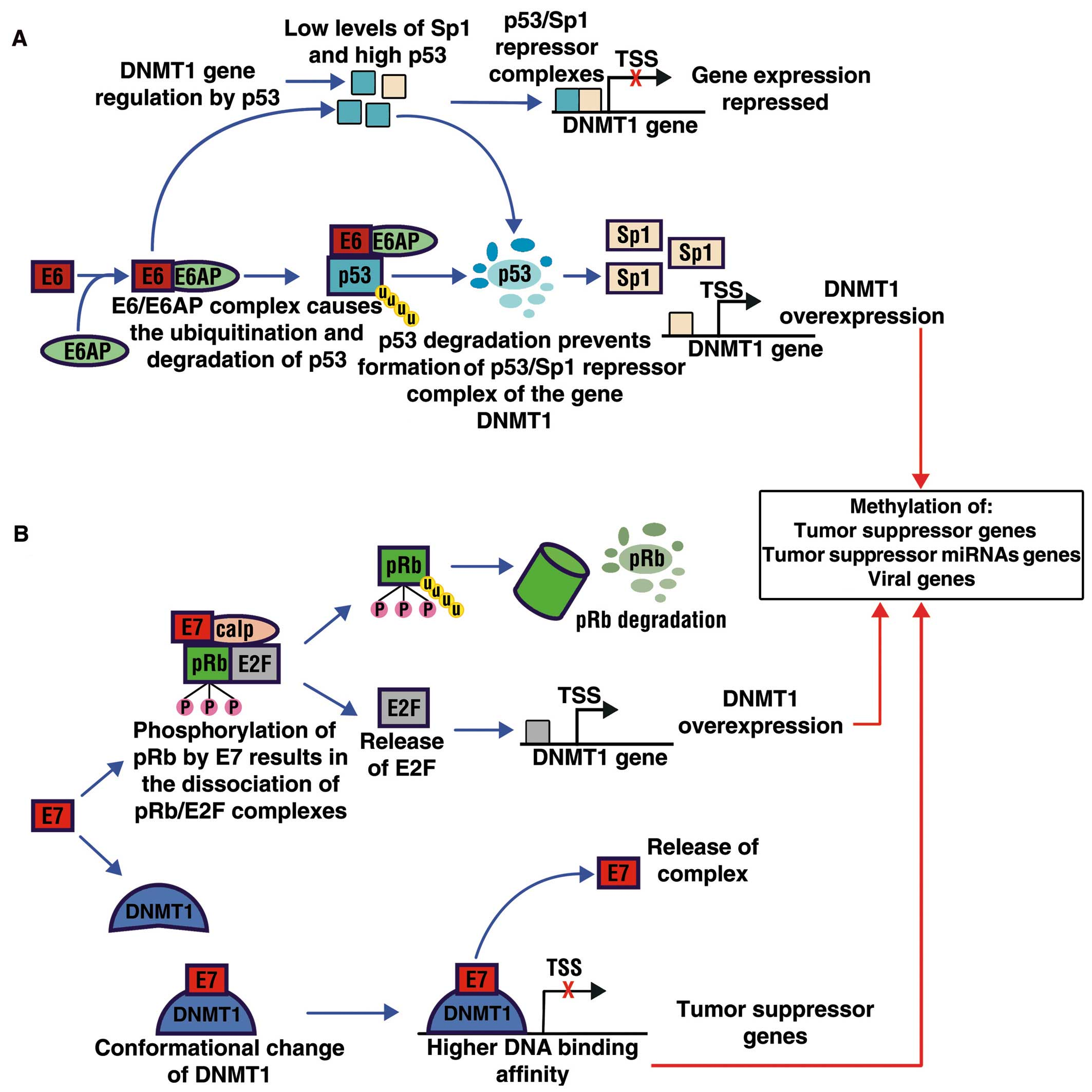 human papillomavirus type 16 and 18 gene expression in cervical neoplasias