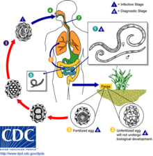 helminth infection cycle