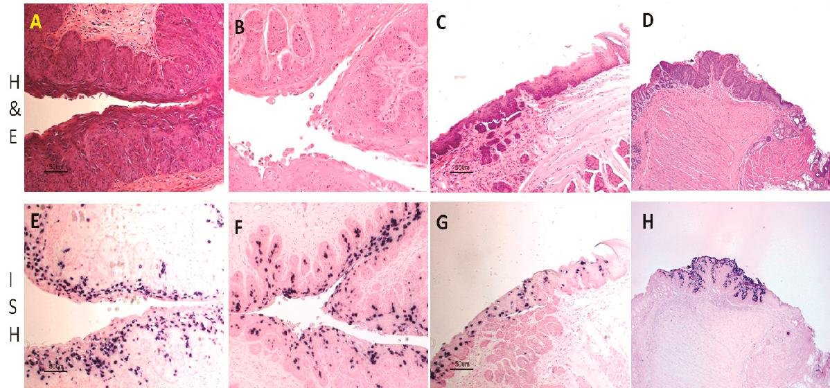mouse papillomavirus infection model