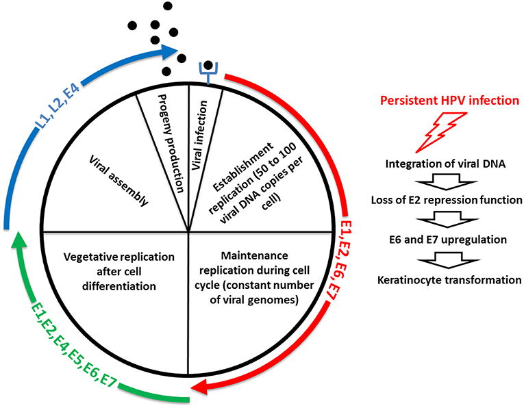 the human papillomavirus family and its role in carcinogenesis)