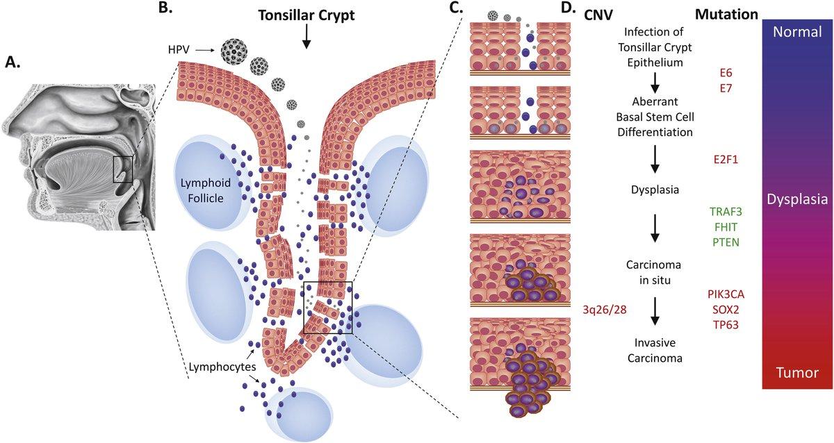 human papillomavirus norsk