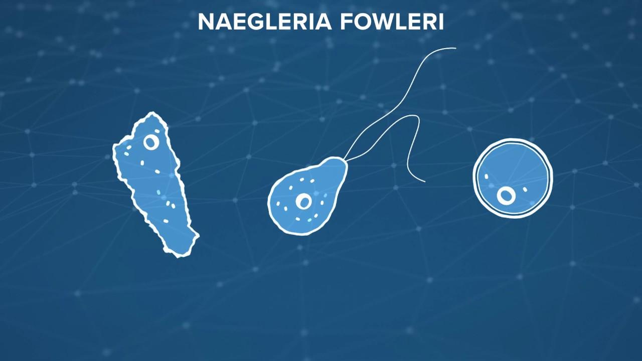 naegleria fowleri)