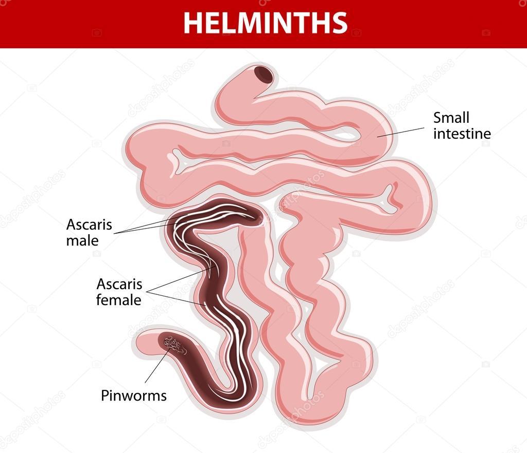 oxiuros intestino delgado)