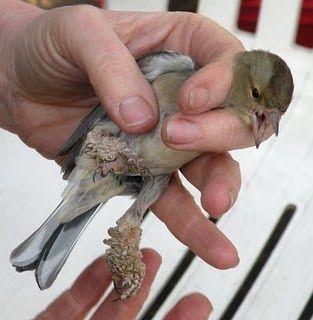 papillomatosis in bird)