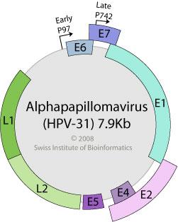 human papillomavirus genome size