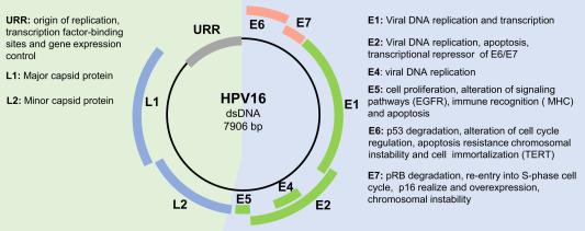papillomavirus genome albendazol para oxiuriasis