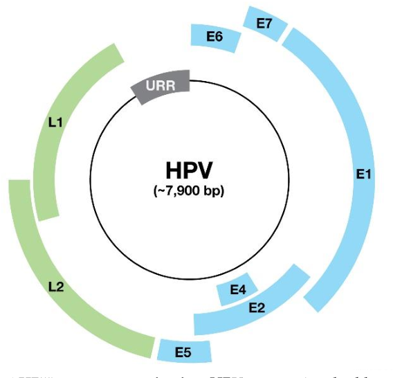 genome organization of human papillomavirus)