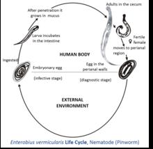 enterobius vermicularis characteristics)
