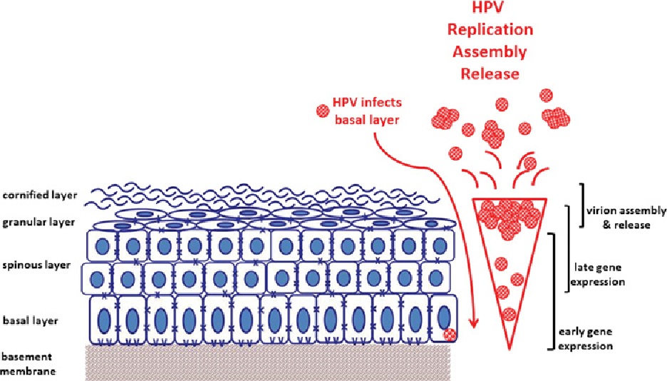 papilloma virus cellule squamose