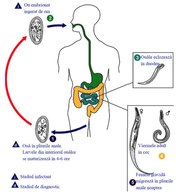 oxiuri la copil de 1 an respiratory papillomatosis mechanism