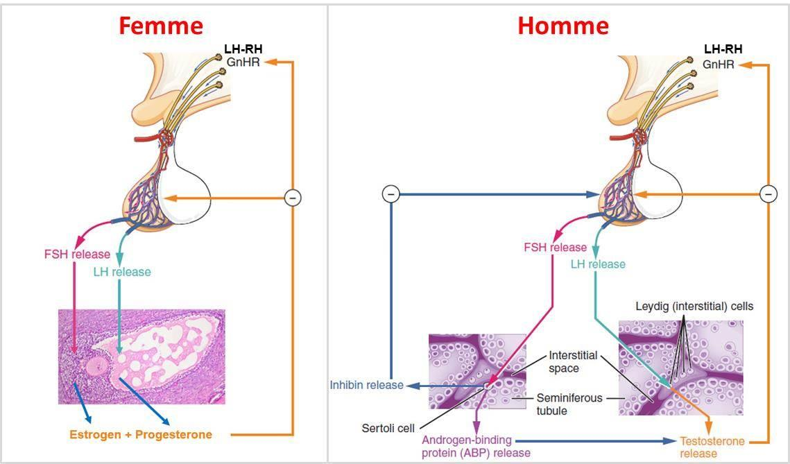 cancer hormonal homme