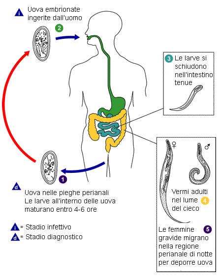 Scotch-test sau testul cu banda adeziva pentru viermii intestinali | evenimente-corporate.ro
