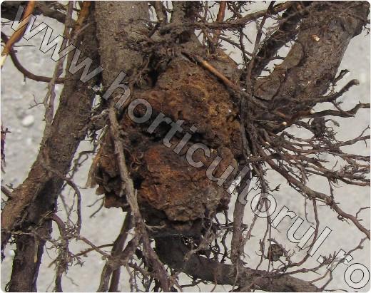 cancerul bacterian la pomi)