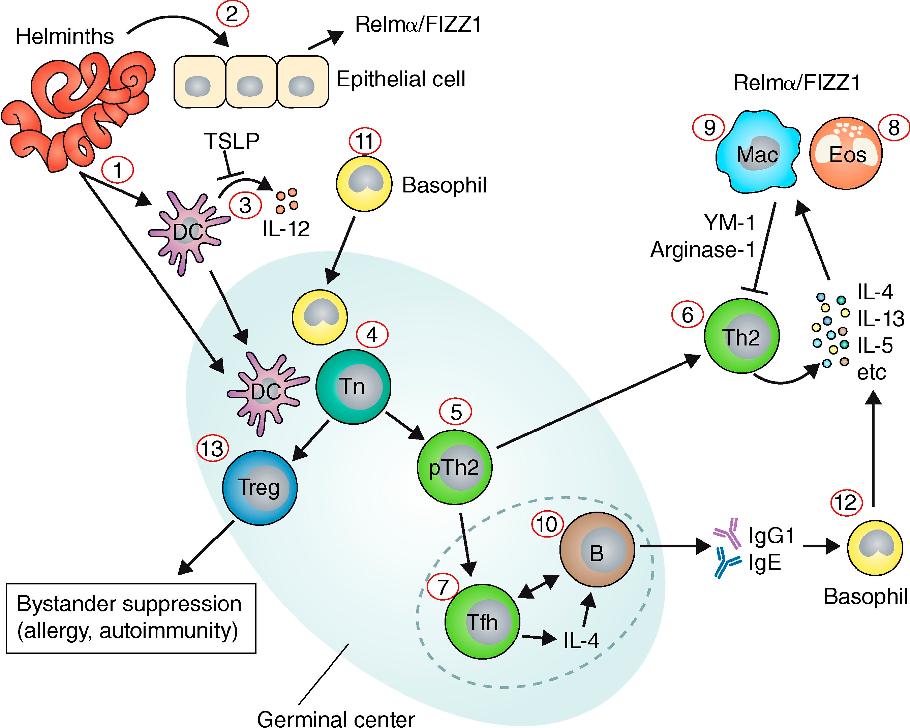 helminth immune response