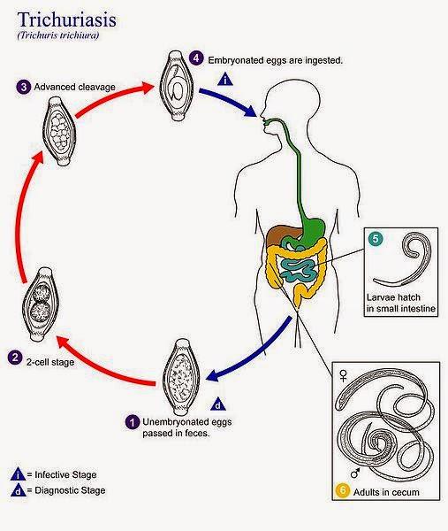 enterobius vermicularis genus medicament oxiuri