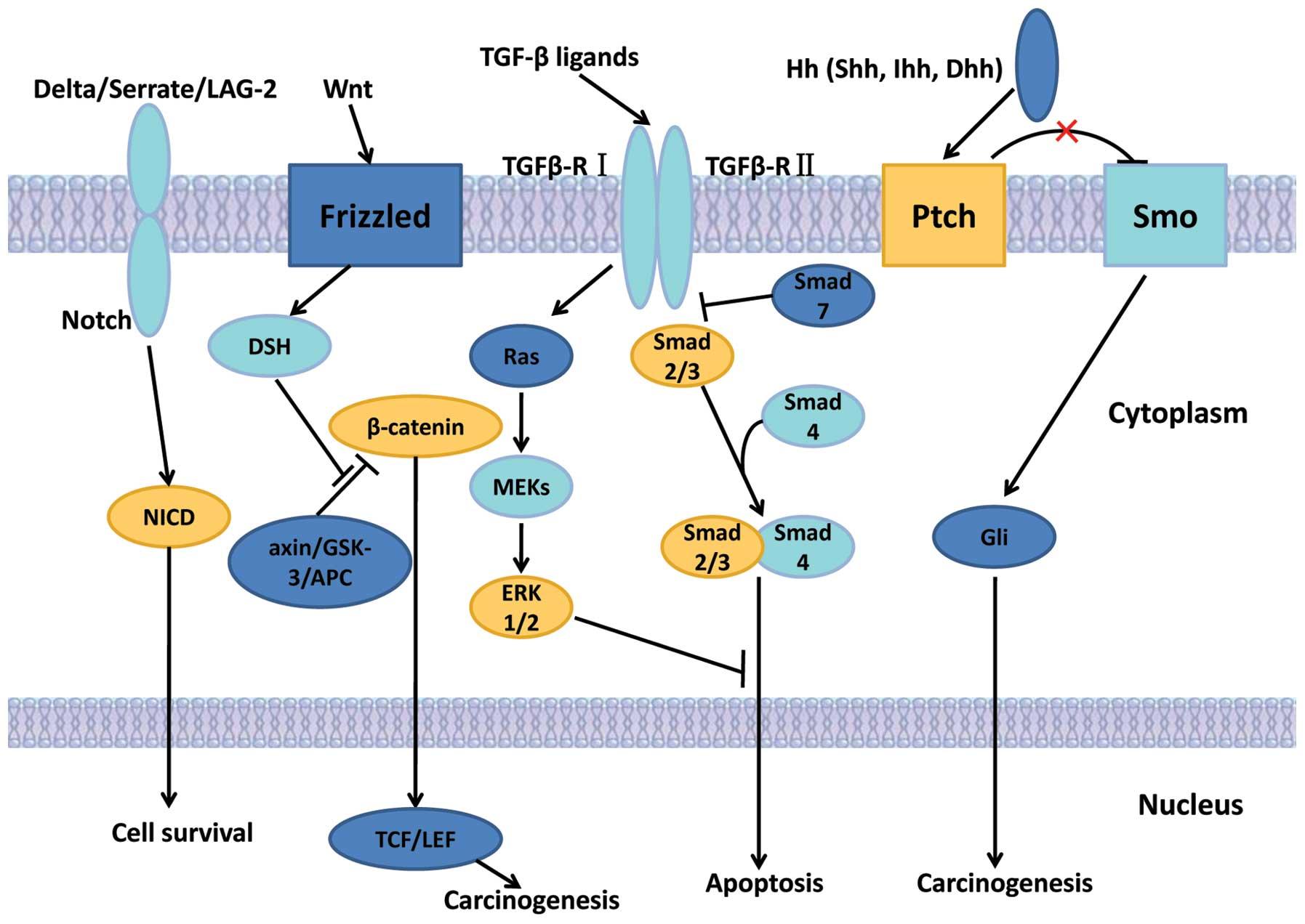 hepatocellular cancer signalling pathway