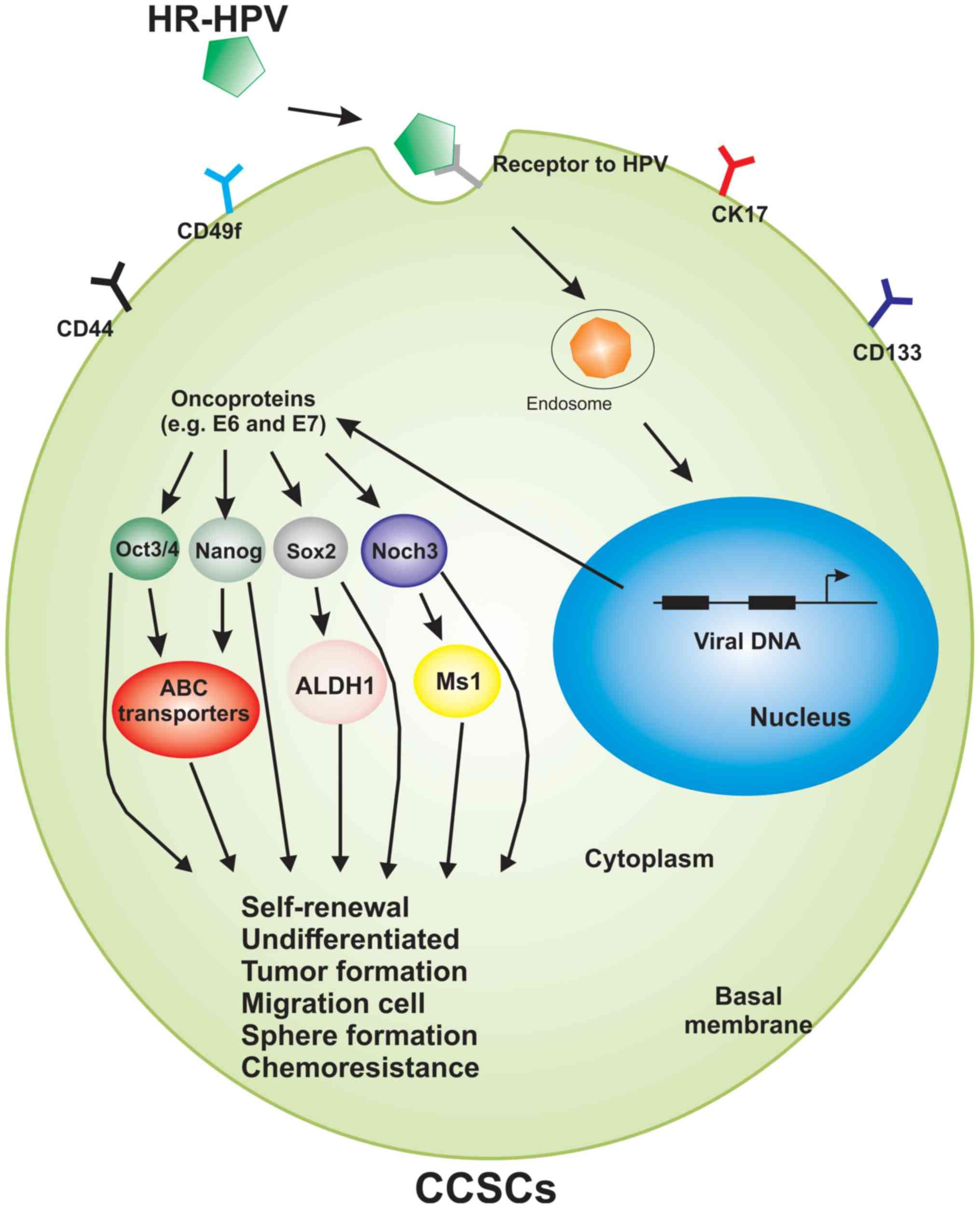 hpv cancer gene