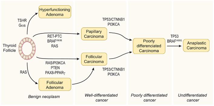 papillary thyroid cancer development)