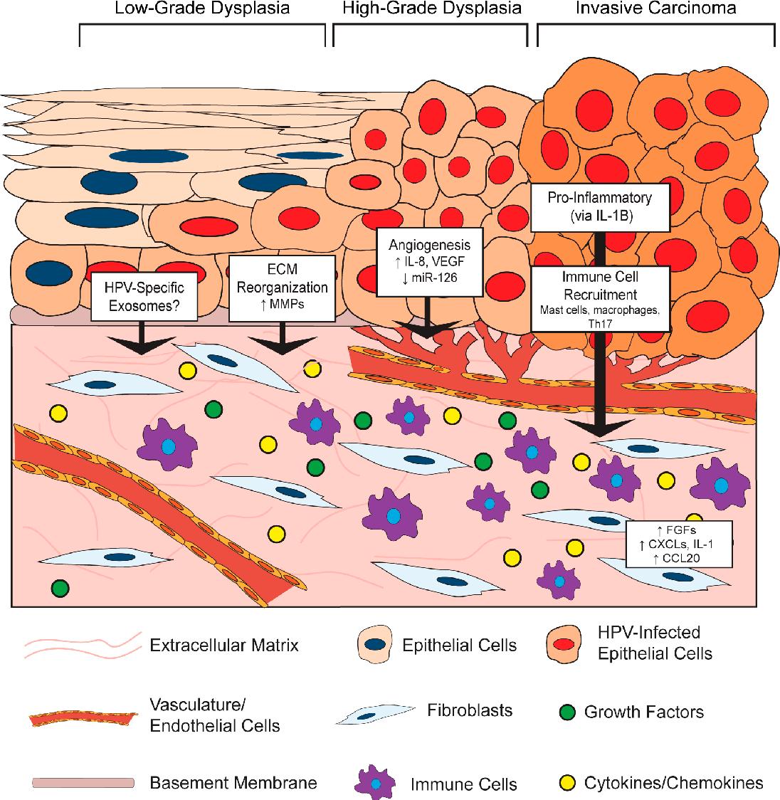 the papillomavirus life cycle)