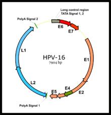 human papillomavirus double stranded dna