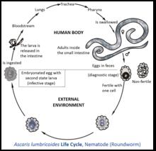 ascaris lumbricoides oxiuros)