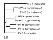 human papillomavirus type 16 lesion cancer pulmonar hipercalcemia