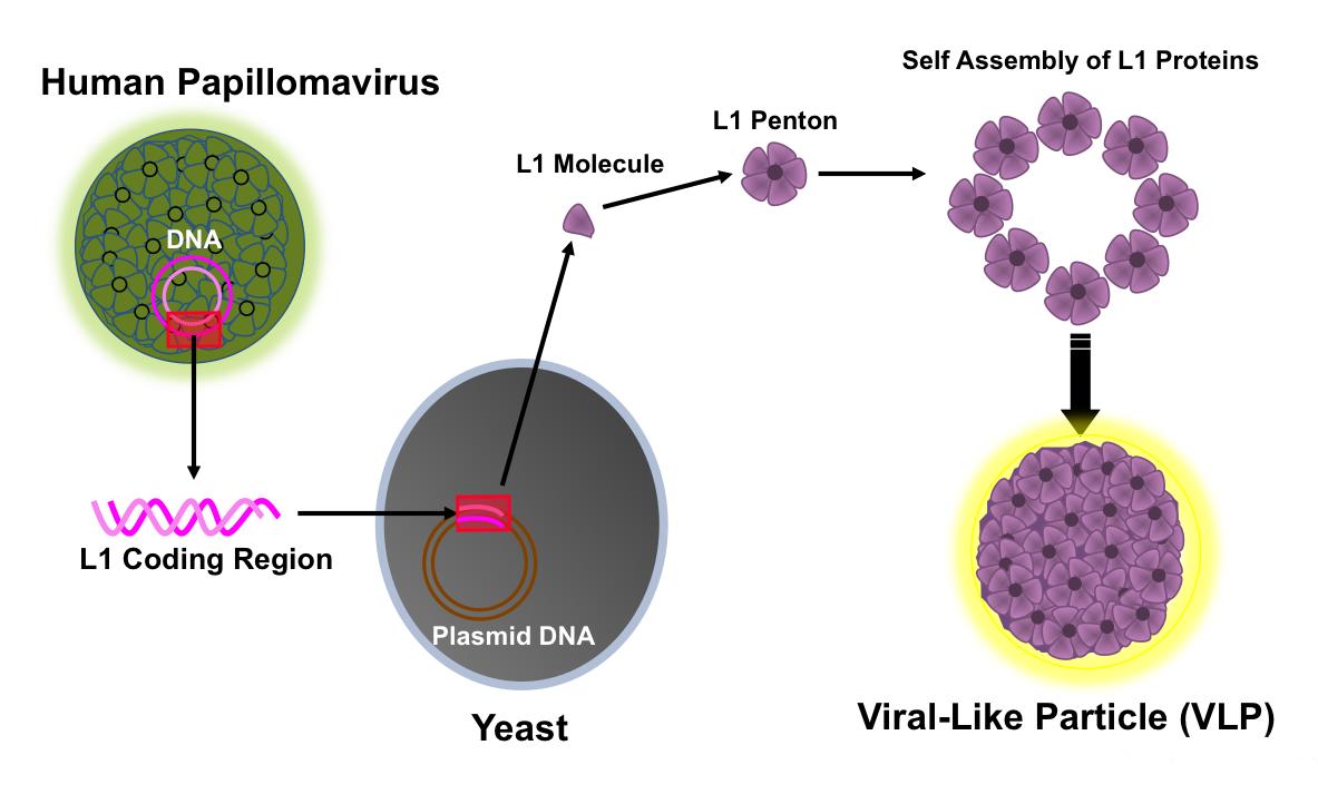 hpv virus manner test