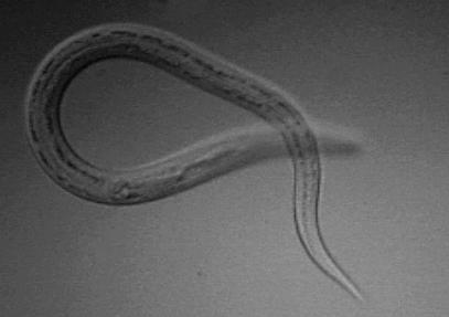 helminth worm treatment