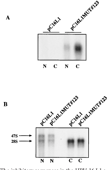 human papillomavirus type 16 gene