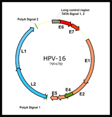 human papillomavirus type 16 lesion