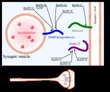 toxina botulinica - Traducere în franceză - exemple în română | Reverso Context