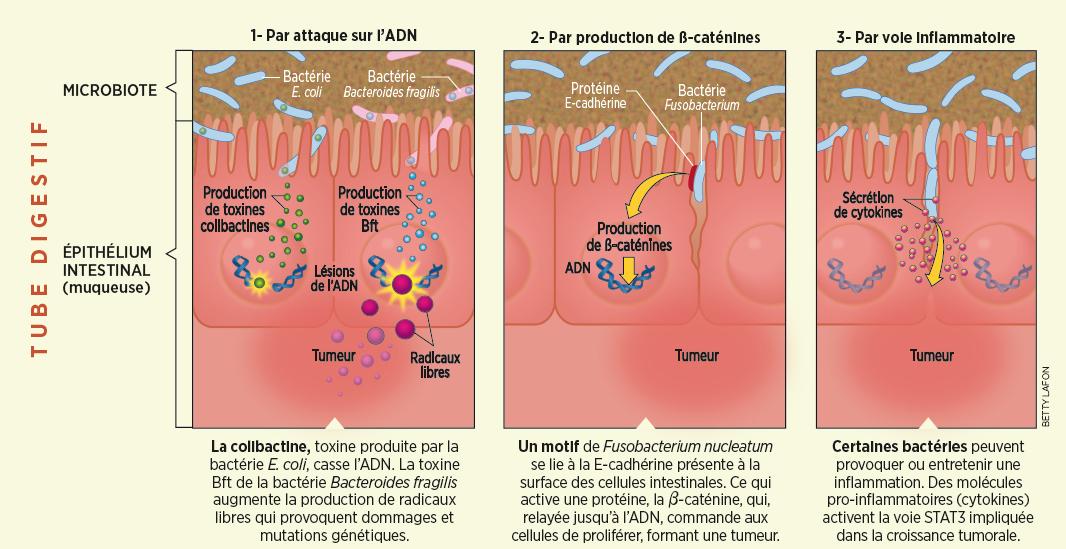 toxine intestinale)