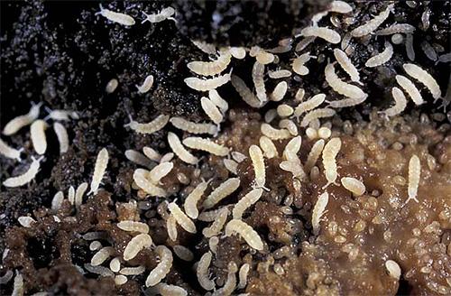 Remediu pentru viermi în apartament - sfaturi pentru controlul dăunătorilor